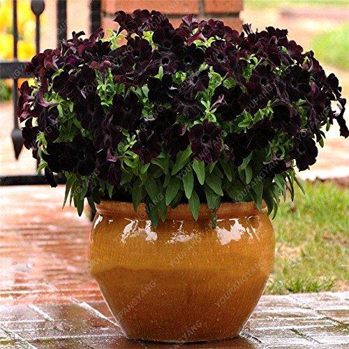 200 PCS Promotion! Balcon Rare Rillettes colorés Pétunia Graines de fleurs rares plantes à fleurs pour le bricolage jardin jaune