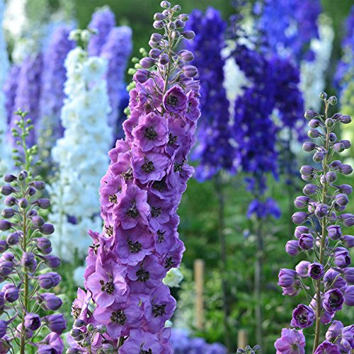 Delphinium Pacific Giant Series Flower Seeds - Round Table Mix - 1000...
