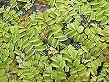 SALVINIA NATANS CONF. GRANDE - pianta galleggiante per acquari