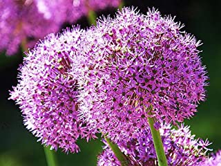 Giant Allium Giganteum Onion Flower Seeds, Dreamlike Pink Flower for Garden Spring Plant Decoration -50pcs (Pink)