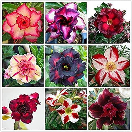 15 Pezzi Mescolare la rosa del deserto Semi Arcobaleno Adenium Obesum Fiori profumati decorativi perenni esotici per esterni fai da te per piantagione di giardinaggio