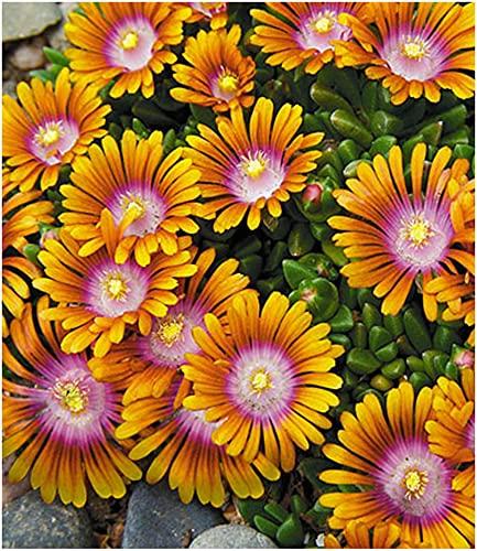 BALDUR Garten Bodendecker Delosperma'Fire Spinner®' Eisblumen, 3 Pflanzen winterhart Steingarten