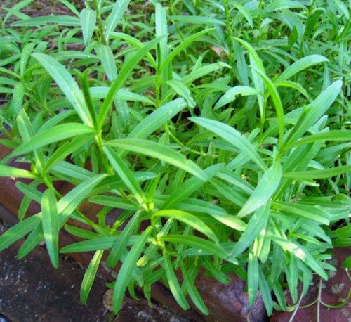 Artemisia drancunculus