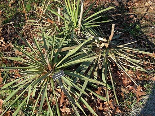 Portal Cool Yucca Filifera - Riesen Yucca - 15 Fresh Seeds