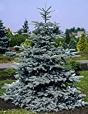 Hoopsii Picea - Super Blue Selection 2 - Year Live Plant