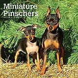 Miniature Pinschers - Zwergpinscher 2021- 16-Monatskalender mit freier DogDays-App: Original BrownTrout-Kalender [Mehrsprachig] [Kalender] (Wall-Kalender)