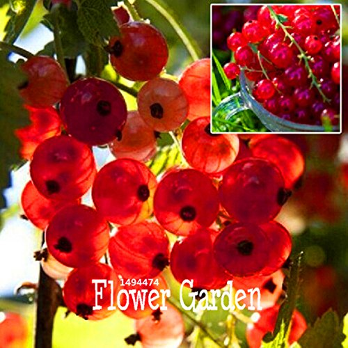 Vistaric ¡Promoción!Grosella Roja Frutal Pan-American Gooseberry Seeds Lantern Fruit Seed sementes da fruta - 5 pcs/Bag, VO5MB6