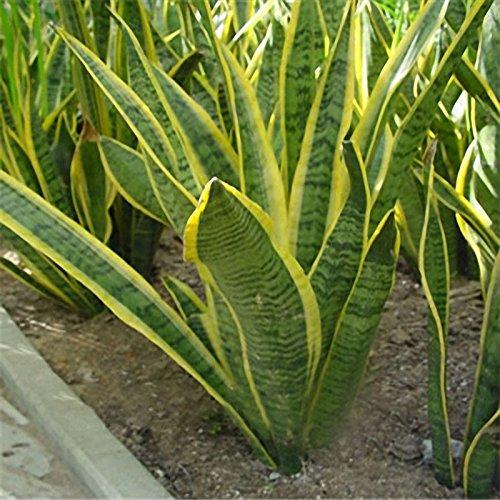 TENGGO Egrow 400 PCS Garden Bonsai Sansevieria Semillas Orgánica Flor Que Florece Planta Semilla - 4
