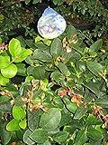 Gaultheria shallon - Hohe Rebhuhnbeere - Große Scheinbeere - Salal