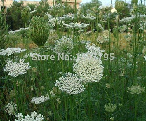 Les graines de coriandre, graines de légumes, vert graines bonsaï végétales - 100 particules