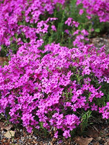 Perennial Farm Marketplace Phlox subulata 'Drummond's Pink' (Moss) Perennial, 1 Quart, Deep Fushia Flowers