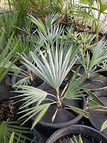 vegherb Sämling Trachycarpus Princeps Rare Stone Gate Palm! Kalter Hardy Um -15C / 5F!