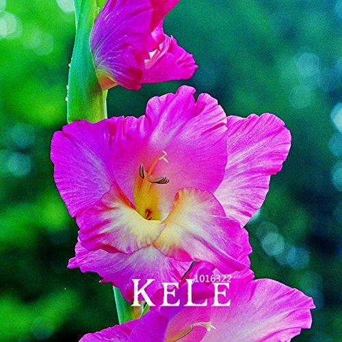 Nouvelles Graines fraîches Gladiolus Graines aérobies plantes en pot épée Rare pot Lily Gladiolus Graines de fleurs vivaces 100 semences / lot, # 2TG
