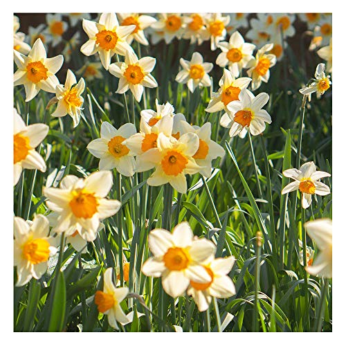 6 x Dwarf Daffodil Bell Song – Ivory-White Blooms - for a Beautiful Spring Garden