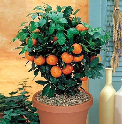 Golden Delicious orange semences Mini Potted arbres fruitiers Graines Bonsai Intéressant planter 50 particules/lot 4