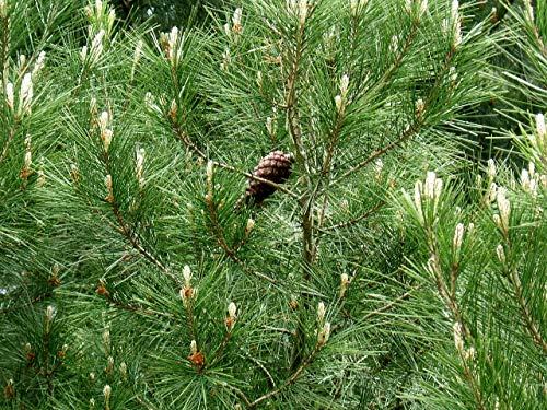 1 oz Seeds (Approx 450 Seeds) of Pinus halepensis brutia, Calabrian Pine,Erect Cone Aleppo Pine, P. brutia
