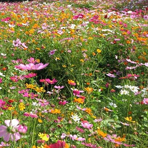 B/H Wildblumenwiese,Blumensamen winterhart mehrjährig,Cosmos Gerbera Blumengarten Blume Wildblumen Kombination Samen-250g_Farbe mischen