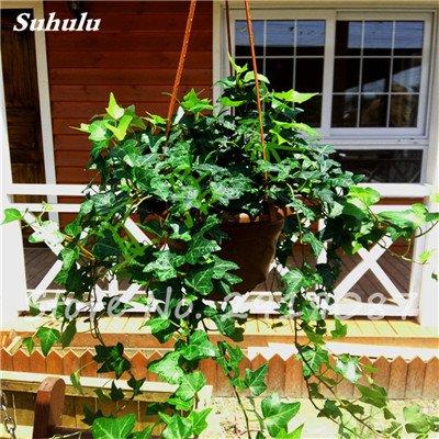 Pearl Chlorophytum Seeds 100 Pcs Hanging type de pot Chlorophytum Plantes fleuries Accueil Intérieur air frais Jardin résistant au froid