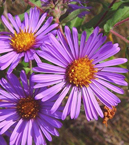 Symphyotrichum novae-angliae   New England Hardy Aster   100_Seeds