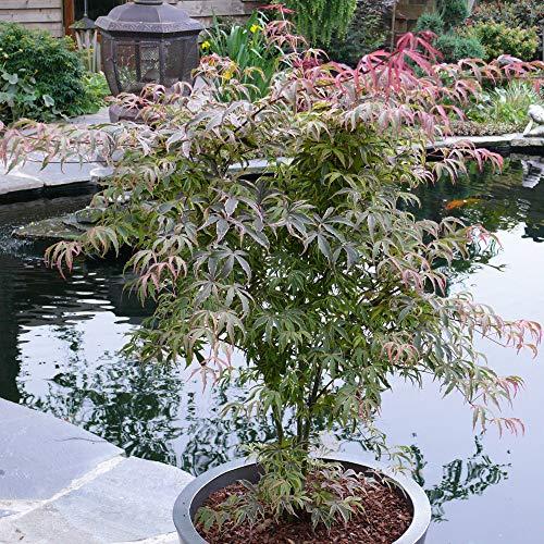 Acer Palmatum 'Shirazz' Japanese Maple Tree 3L Pot