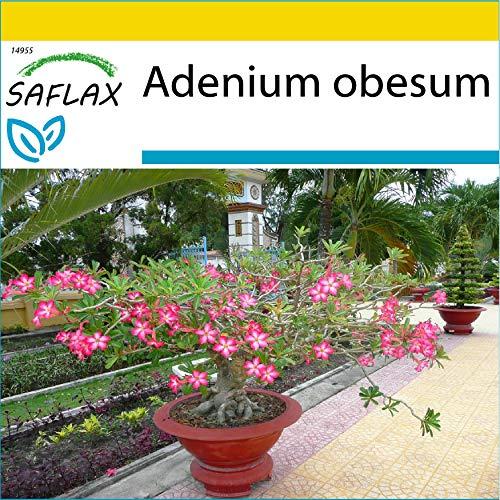 SAFLAX - Set de cultivo - Rosa del desierto - 8 semillas - Con mini-invernadero, sustrato de cultivo y 2 maceteros - Adenium obesum