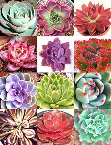 COLOR ECHEVERIA mix, rare exotic succulent HEN & CHICKS seed flowering -20 seeds