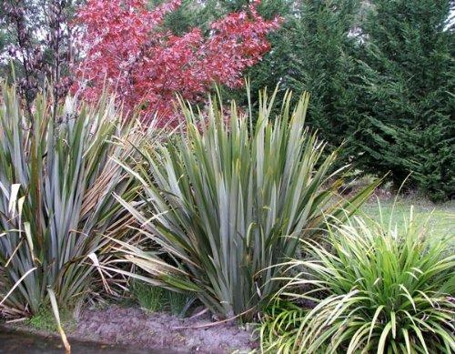 Neuseeland Flachs 10 x Samen - Phormium tenax - extrem frosthart -