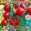 ミニトマト苗 夏植え フルーツミニトマトの苗【野菜苗 9cmポット実生苗/お買い得4個セット】 実生苗は夏場、徒長しやすいため、ロットにより挿し木苗になります。甘くてフルーティーな多収穫タイプのフルーツミニトマト!!真夏の暑さや梅雨の湿気、秋の日照時間の短い季節や、弱光線でも開花結実しやすい強健な品種です! 糖度ものりやすく、食味が良い美味しいフルーツミニトマトです。野菜用深めのプランターでも簡単に栽培できます。自社農場から新鮮出荷!!【即出荷!プライム送料込み価格!】