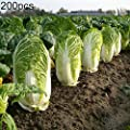 Chinese Cabbage Seeds for Yard Gardening Plant,200Pcs Delicious Chinese Cabbage Seeds Nutritious Vegetable Home Garden Plant - Chinese Cabbage Seeds by Mosichi