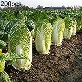 lamta1k 200Pcs Semillas de repollo Chino orgánico Hortalizas nutritivas Huerto casero Jardín Planta/Flor Fresca Planta de Hierbas Frescas - Semillas de repollo Chino