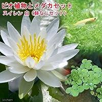 (ビオトープ)(めだか)ビオ植物とメダカセット 睡蓮(スイレン) 白 鉢なしセット 本州四国限定 (休眠株)