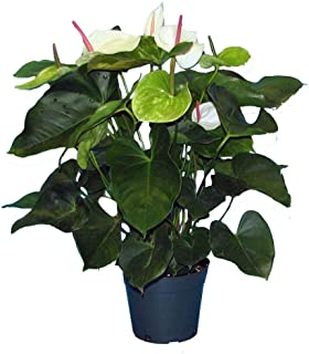 PlantVine Anthurium 'White Heart' - Large - 8-10 Inch Pot (3 Gallon), Live Indoor Plant, 4 Pack