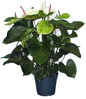 PlantVine Anthurium 'White Heart' - Large - 8-10 Inch Pot (3 Gallon), Live Indoor Plant