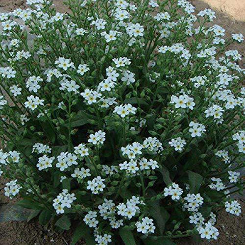 XINDUO Flores Semillas Planta Bonsai,Cuatro Estaciones de plantación fácil, no me Olvides: 500 cápsulas Blancas,Jardín Ornamental balcón