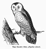 The Poster Corp Snowy Owl 1877. /Nnyctea Nivea. Line