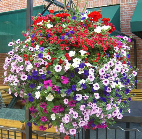 Fleur graines plante suspendue graines de pétunia balcon -100 graines