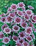 Aimado Seeds Garden-10 Mauve sylvestre graines, Excellente plante florifère et colorée,plante vivace idéales pour votre jardin