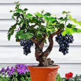 Kisshes10Pcs Jaboticaba Seeds Fruit Seeds Bonsai Grape Tree Plant Seeds Indoor Kyoho Grape Grapes Seeds