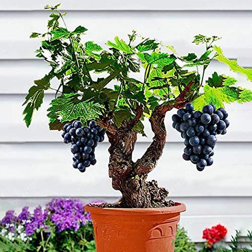 Qulista Samenhaus - 10pcs Selten Tafel-Traube 'Venus' Weintrauben-Pflanzen Bonsai ertragreich...