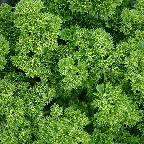 Suffolk herbes - persil bio Frisé mousse - 300 graines