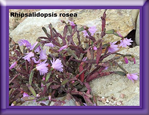Rhipsalidopsis rosea Photography 2017...