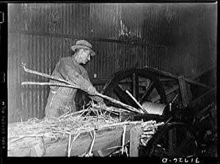 Feeding sugarcane into crusher at sugar mill near New Iberia, Louisiana