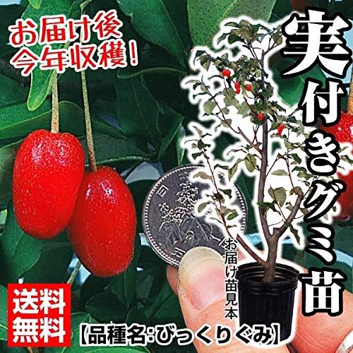 国華園 果樹苗 びっくりぐみ 実つき 1株 21年春商品