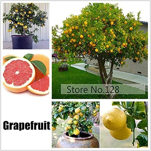 Cioler 50 Stücke Obstsamen Grapefruit Samen Mini Bonsai Hausgarten Obst Bäume Outdoor Obst Samen für Garten Pflanzen