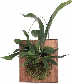 Best staghorn fern parts Reviews