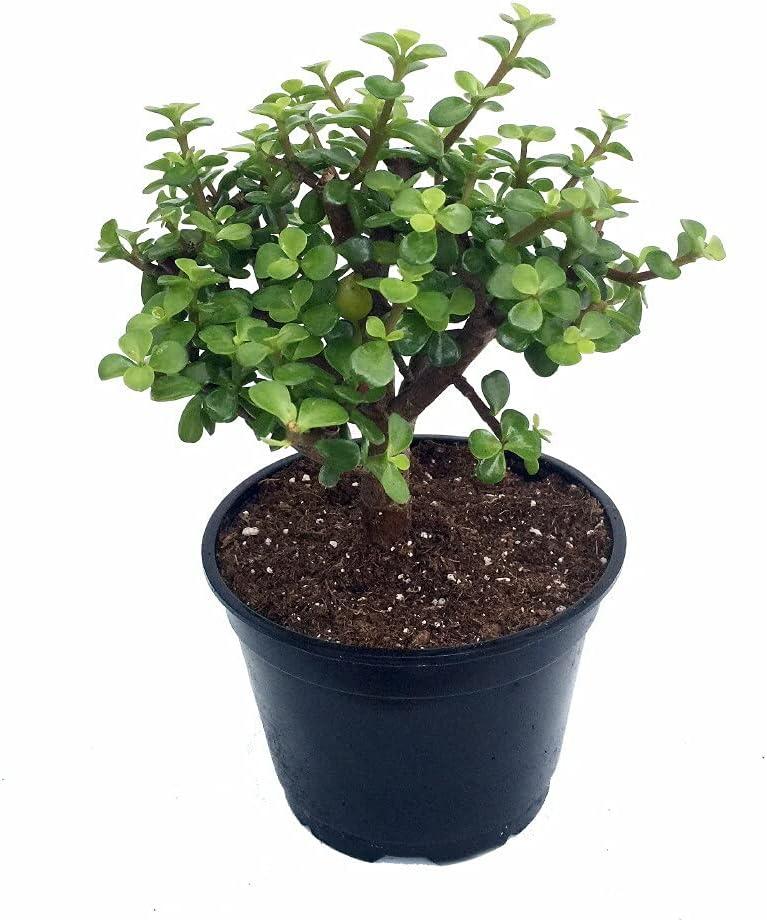 Succulent Plant Spekboom Mini Jade specialty shop New arrival Afra Live Portulacaria
