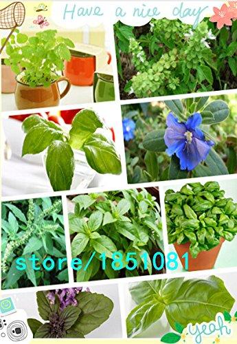 Big promotion emballage d'origine graines de basilic Ocimum basilicum graines de légumes parfumés graines de basilic, graines de fleurs - 100 pcs