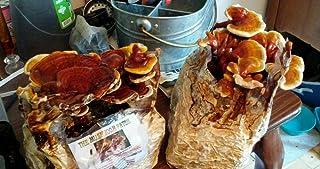 Mushroom Man LLC, Reishi Mushroom Kit - Indoor Growing Kit ~ Reishi`s Legacy spans Centuries, Earning Global Recognition as a nutraceutical Species Supporting Longevity, General Wellness & Vitality!