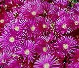 50 Semi Lampranthus Blandus Rare Mesembryanthemum Pietra Succulente mesembriantemi Seed