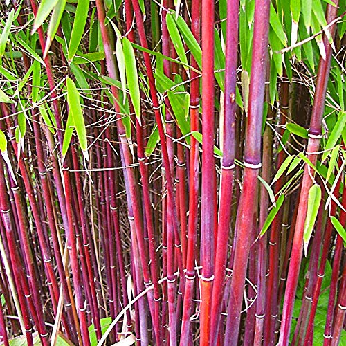 Fargesia Bamboo Hardy Outdoor Ornamental Flowering Garden Evergreen Pot Plants (Asian Wonder)